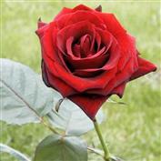 Rosier Buisson à grandes fleurs \u0027Baccara\u0027
