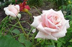 Rosier Buisson à grandes fleurs \u0027Frédéric